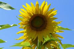 P1150059 (alainazer) Tags: poëtlaval drôme france fiori fleurs flowers ciel cielo sky champs fields colors colori couleurs tournesol girasole sunflower