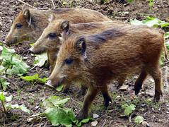 Drei Wildschweinchen (anubishubi) Tags: lumixfz150 säuger säugetier pig schwein frischling wildschwein wildboar