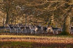 Christmas Day herd (Englepip) Tags: basingstoke hackwoodpark sunshine animals deer herd fallowdeer