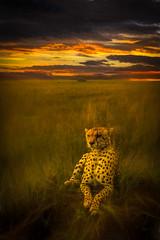 Cheetah dusk (PhilHydePhotos) Tags: africa cheetah duma feline mammals safari seasonofsmallrains serengeti tanzania wildlife cats predator