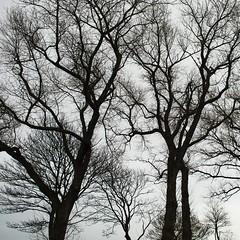 Trees, rain. Boxing Day 2019 (metamodule) Tags: