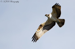 Osprey(Flight) (KJB Photography.) Tags: osprey bird prey suffolk lakes flight wildlife nature overseas