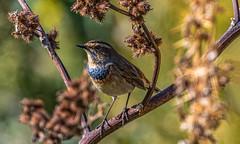 Wary Bluethroat (Luscinia svecica), Wadi Al Wala, Madaba Governorate, Jordan (SW Roller) Tags: bluethroat bird animal wildlife nature outdoors branch green perched bos wadialwala madaba jordan d500