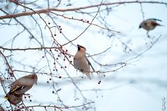 Bohemian Waxwing... (N.Batkhurel) Tags: season winter trees birds bohemianwaxwing fruits animals ngc nikon nikondf 70200mm mongolia ulaanbaatar