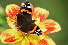 Sur Dahlia (Michel photography / Thanks for 25 Millions) Tags: dahlia butterfly papillon macro
