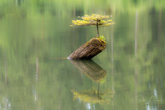 Fairy Lake Bonsai Tree (pDOTeter) Tags: canada peter peterphotography personen peterluxem tree water reflection green tranquil