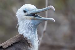 Young Magnificient Frigatebird