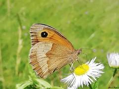 Butterfly 1910 (Maniola jurtina) (+1800000 views!) Tags: butterfly borboleta farfalla mariposa papillon schmetterling فراشة