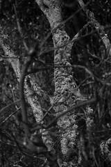 HMBT (Wendy:) Tags: tree lichen ir mono hmbt