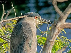🇺🇸 Black-crowned night-heron EG 9095 (vickyoutenphoto) Tags: vickyouten blackcrownednightheron heron nikon nikond7200 nikkor55300mm evergladesnationalpark florida usa