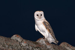 Tyto alba, Τυτώ, Barn owl (belas62) Tags: owl ngc greece bird predator tyto θεσσαλία πουλί κουκουβάγια νυχτοπούλι αρπακτικό nocturnal