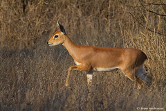 Steenbok, female. (leendert3) Tags: leonmolenaar southafrica krugernationalpark wildlife wilderness wildanimal nature naturereserve naturalhabitat mammal steenbok sunrays5 coth5
