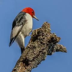 Red-Headed Woodpecker (Kevin E Fox) Tags: redheadedwoodpecker melanerpeserythrocephalus newbritain peacevalleypark pennsylvania pa bird birding birdwatching birds birdphotography sigma150600sport sigma nature nikond500 nikon