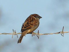 House sparrow (Charos Pix) Tags: housesparrow passerdomesticus barbedwire