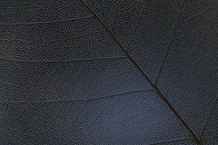 Reuse of a Bodhi leaf (Funchye) Tags: leaf bodhi nikon d750 60mm skeletonleaf macro blue bodhileaf