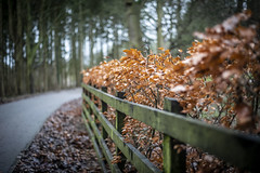 The golden walk (26/365) (Reckless Times) Tags: leaf leafs leaves gold golden winter wytham woods wood fence bokeh dof leading lines nikon d750 500px walk stroll boxing day 365 project