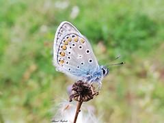 Butterfly 1909 (+1800000 views!) Tags: butterfly borboleta farfalla mariposa papillon schmetterling فراشة
