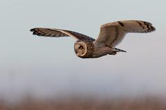 Close (irelaia) Tags: close short eared owl fly past wild bird