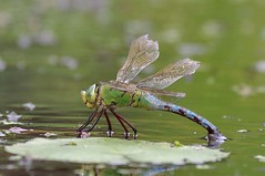 Female Emperor Dragonfly - Anax imperator (Phasmomantis) Tags: female emperor dragonfly anax imperator insect wwt bbcspringwatch closeup pentax kmount nature ukwildlie ponds lakes rivers anisoptera thorax abdomen britain scotland ireland blue green eggs juneaugust september