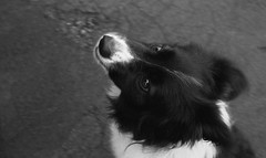 Melody (Richie Rue) Tags: dog portrait bordercollie blackandwhite monochrome bnw bw film analogue 35mm foma fomapan400 fomadon excel 13 mindfulphotography contemplativephotography