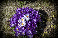 Crocus IMG_1769 (Paul_Paradis) Tags: blossom fleur flora floral flower jardin garden plante plant nature natural printemps spring crocus macro canada quebec iledorleans