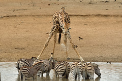 Giraffe having a drink or splashing the zebras (Rob Keulemans) Tags: giraffe 2019 copyrightrobkeulemans krugernationalpark zebra drinking