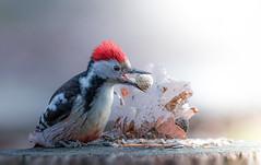 Mittelspecht - Middle-spotted woodpecker (hardy-gjK) Tags: bird vogel oiseau specht woodpecker wildlife natur tier animal nature hardy nikon d500 light licht nuss nut peanuts