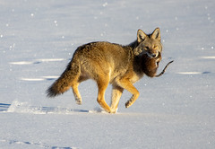 Coyote with a Captured Muskrat (timosborne) Tags: coyote muskrat