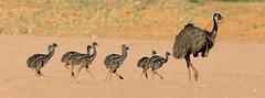 Emu father and chicks leaving (cosmos38 - the real one) Tags: birds emu dromaisnovaehollandiae australia westernaustralia wooramelcreek murchison