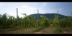 Future wine (Missing Pictures) Tags: sunny grape mountains wine sky green greens bright rest vineyard hungary balaton badacsonytomaj travel traveling travelphotography explore explored exploring volcano summer sunshine sun summertime