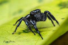Omoedus orbiculatus. Queensland, Australia. (F.Hendre) Tags: omoedusorbiculatus spider jumpingspider arachnid macro stack