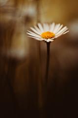 mrs. doubtfire (christian mu) Tags: bokeh germany münster christianmu sony sonya7riii sonya7rm3 9028g 9028 90mm nature flowers