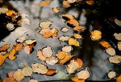 Floating autumn leaves (mkk707) Tags: film 35mmfilm analog manualfocuslens vintagefilmcamera vintagelens zeissikonstyle germancameras zeissikoncontarex carlzeissplanar1250mmcontarexmount fujifilmsuperiaxtra400 wwwmeinfilmlabde autumn leaves colours reflections