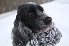Golden  Moment (excellentzebu1050) Tags: cockerspaniel spaniel dog farmdog pet cocker animalportraits animal doggy snow winter2019 coth5