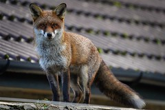 365 - Image 360 - Fox on the roof... (Gary Neville) Tags: 365 365images 6th365 photoaday 2019 sony sonya7iii a7iii a7m3 garyneville 200600