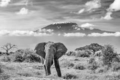 Two giants (Khurram Khan...) Tags: africa wildlife wildlifephotography wild wwwkhurramkhanphotocom elephant mtkilimanjaro kenya tanzania bealpha sony monochrome blackandwhitephotography khurramkhan