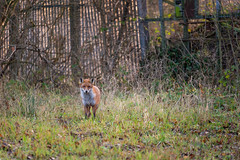 Christmas Fox (Rob Pitt) Tags: fox wildlife ellesmereport booston woods red 70200 wirral cheshire