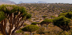 Dragon blood tree forest, Socotra, Yemen
