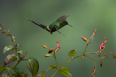 Green Thorntail (Chris Jimenez - Take Me To The Wild) Tags: action nature chrisjimenez polinization leastconcern sideview greenthorntail discosuraconversii colibrie fly foraging wild colibri hovering brauliocarrillo costarica bird life male oneanimal hummingbird inflight longtail fulllength