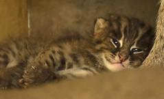 fishing cat Blijdorp BB2A0957 (j.a.kok) Tags: animal asia azie cat kat kitten fishingcat vissendekat blijdorp mammal zoogdier dier predator blijdorpzoo