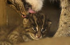 fishing cat Blijdorp BB2A0961 (j.a.kok) Tags: animal asia azie cat kat kitten fishingcat vissendekat blijdorp mammal zoogdier dier predator blijdorpzoo motherandchild moederenkind