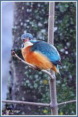 Martin-Pêcheur 191225-03-P (paul.vetter) Tags: nature faune oiseau vogel bird martinpêcheur alcedoatthis commonkingfisher martínpescadorcomún guardarios eisvogel alcédinidé