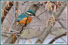 Martin-Pêcheur 191226-02-P (paul.vetter) Tags: nature faune oiseau vogel bird martinpêcheur alcedoatthis commonkingfisher martínpescadorcomún guardarios eisvogel alcédinidé