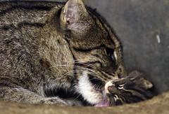 fishing cat Blijdorp BB2A0017 (j.a.kok) Tags: animal asia azie cat kat kitten fishingcat vissendekat blijdorp mammal zoogdier dier predator blijdorpzoo motherandchild moederenkind