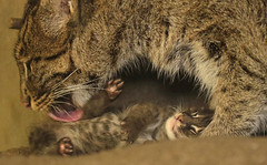 fishing cat Blijdorp BB2A0924 (j.a.kok) Tags: animal asia azie cat kat kitten fishingcat vissendekat blijdorp mammal zoogdier dier predator blijdorpzoo motherandchild moederenkind