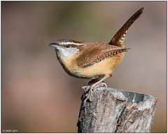 Carolina Wren DSC_1157 (blindhogmike) Tags: nature natur wildlife faune tierwelt bird oiseau vogel columbia lexington sc south carolina