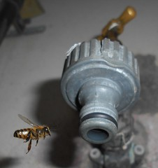 Bees collecting water droplets from tap faucets - NSW drought December 2019 water restrictions - Sydney (nicephotog) Tags: bee apis worker flight mellifera water tap ollecting faucet