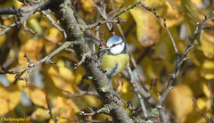 La mésange bleue dans un verger automnal (Refuge lpo - Entraigues sur la sorgue - Vaucluse - 29 novembre 2019) (1) (Carnets d'un observateur de la nature du Sud de la) Tags: oiseau ligueprotectionoiseau passereau mésangebleue nature biodiversité verger entraiguessurlasorgue vaucluse provence automne
