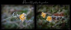les pissenlits gelés (.Sophie C.) Tags: nord leshautsdefrance fleur flore dansmonjardin pissenlit givre gel gelée hiver multivues