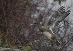 Out of the lake (woodwindfarm) Tags: american wigeon flight bird in bif
